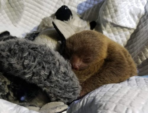 Finding a Baby Sloth